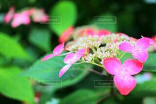 紫陽花の写真・画像素材[1716665]