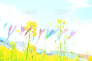 菜の花と鯉のぼりの写真・画像素材[1716678]