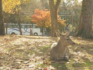 公園の鹿の写真・画像素材[1712681]