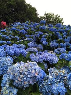 紫陽花畑の写真・画像素材[1714660]