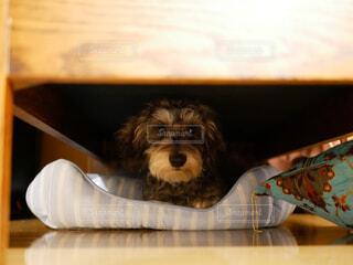 ソファの下に隠れんぼの写真・画像素材[1717609]