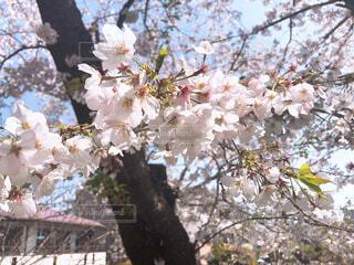 桜の写真の写真・画像素材[1999697]