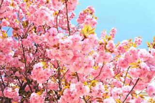 ザルツブルクの桜の写真・画像素材[1716020]