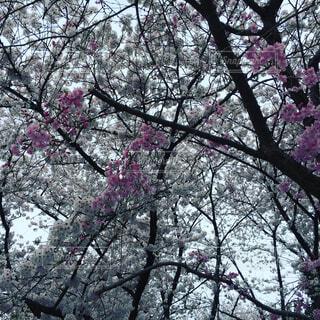 桜の写真・画像素材[1715013]