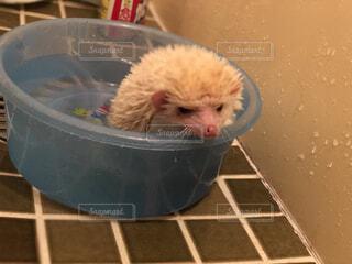 入浴中 ハリネズミの写真・画像素材[1715971]