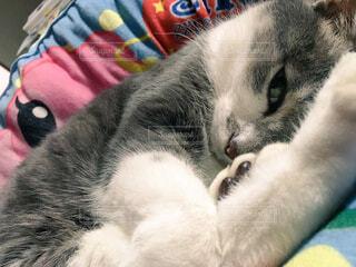 クッションの上に横になっている我が家のネコちゃんの写真・画像素材[1716968]