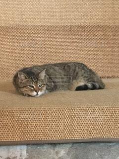アヤソフィアの猫、グリちゃんの写真・画像素材[1716538]