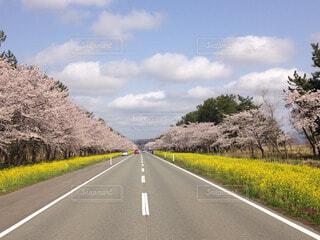 桜満開、菜の花ロードの写真・画像素材[60554]