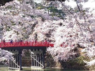 弘前城の桜の写真・画像素材[60581]
