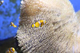 水族館のカクレクマノミの写真・画像素材[1722319]