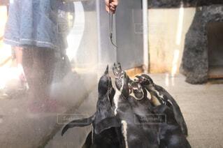餌に戯れるペンギンの写真・画像素材[1722321]
