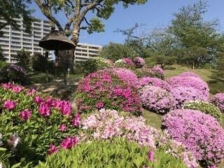 大きな紫色の花は、庭の写真・画像素材[1720361]