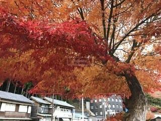 燃える大木の写真・画像素材[1720632]