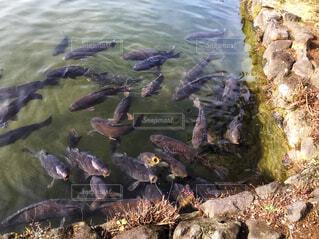 飢えた鯉の群れの写真・画像素材[1726780]