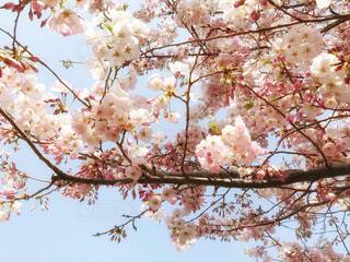 荒川沿いの桜が満開!の写真・画像素材[2068350]