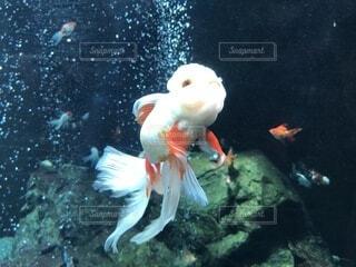 夢見る金魚の写真・画像素材[2069029]