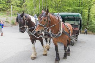 馬車を引いている馬の写真・画像素材[1719269]