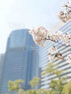 都会の桜の写真・画像素材[1719667]