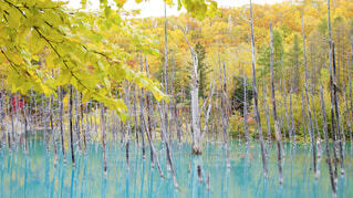 紅葉の青い池の写真・画像素材[1725083]