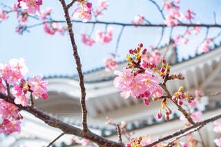 梅の花の写真・画像素材[1810700]