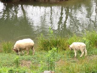 羊🐏🐑の写真・画像素材[1772514]