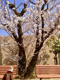 桜の写真・画像素材[1814709]