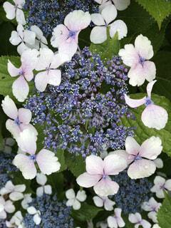 紫陽花の写真・画像素材[2189080]