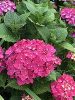 ピンクの紫陽花の写真・画像素材[2189081]