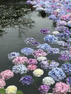 水面の紫陽花の写真・画像素材[2253971]