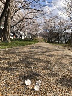 桜の写真・画像素材[3017112]