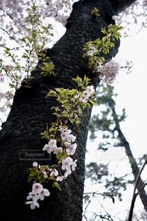#サクラ#若葉#cherry blossom ####の写真・画像素材[421284]