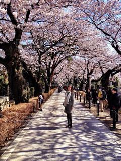 桜並木の写真・画像素材[1746589]