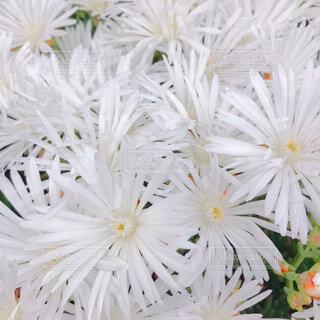 白菊の花♡の写真・画像素材[1719176]