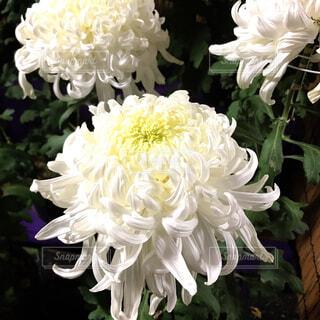 白菊の花♡の写真・画像素材[1719209]