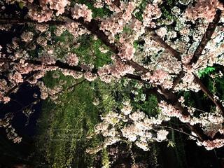 夜桜♡の写真・画像素材[1736653]