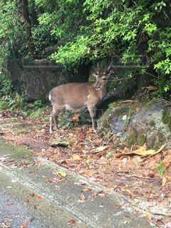 森の中を歩く、動物の写真・画像素材[1719956]