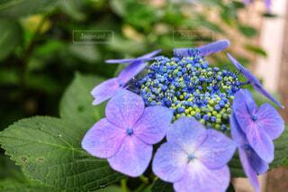 植物の紫色の花の写真・画像素材[1720904]
