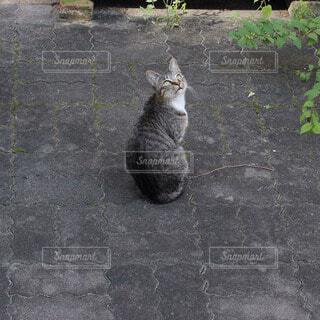 猫の写真・画像素材[60800]