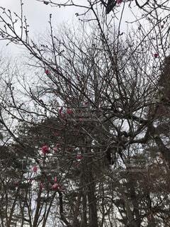 早咲きの梅の写真・画像素材[1723459]