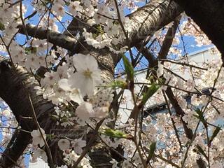 桜の木の写真・画像素材[1722455]