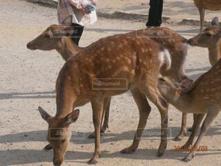 奈良公園の鹿の写真・画像素材[1722845]