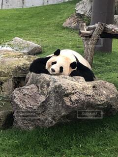 岩の上に座っているパンダの写真・画像素材[1722564]
