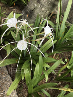 珍しい白い花の写真・画像素材[1723805]