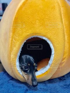 みかんの中にいる犬の写真・画像素材[1724380]