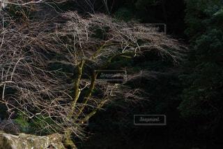 フォレスト内のツリーの写真・画像素材[1725344]