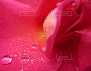 薔薇と雫の写真・画像素材[1735519]