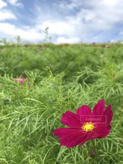 フィールドに赤い花の写真・画像素材[1726630]