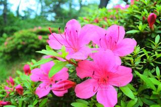 植物にピンクの花の写真・画像素材[1728634]