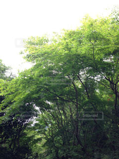 森の大きな木の写真・画像素材[1729806]