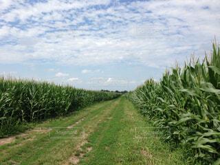 トウモロコシ畑と雲と空の写真・画像素材[1729824]